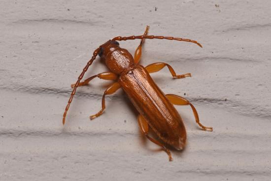 Beetle H2 - Smodicum cucujiforme