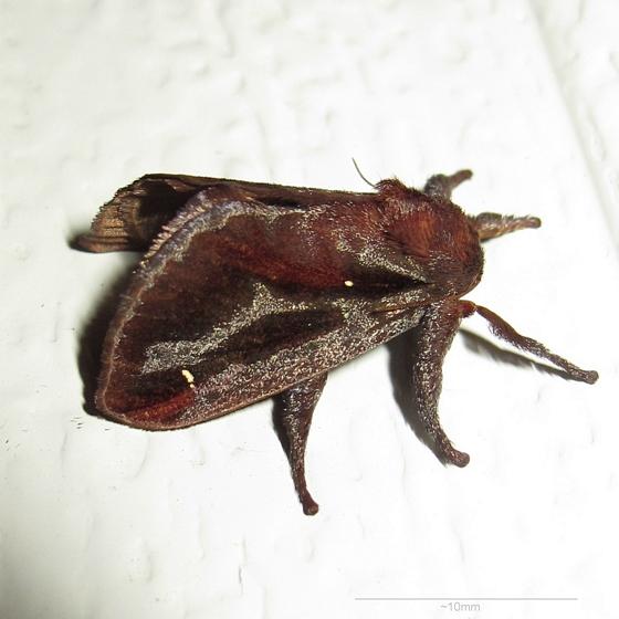 Hodges #4700 - Saddleback Caterpillar Moth - Acharia stimulea