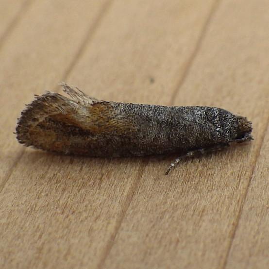 Tortricidae: Rhyacionia adana? - Rhyacionia