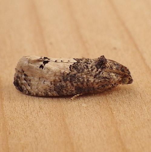 Tortricidae: Ecdytolopha insiticiana? - Ecdytolopha insiticiana