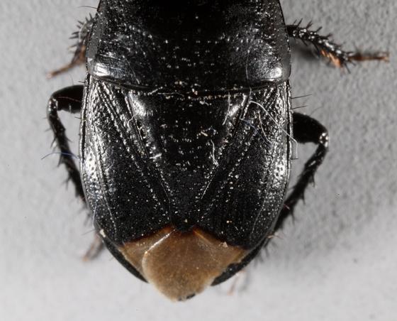 Utah version - Pangaeus bilineatus