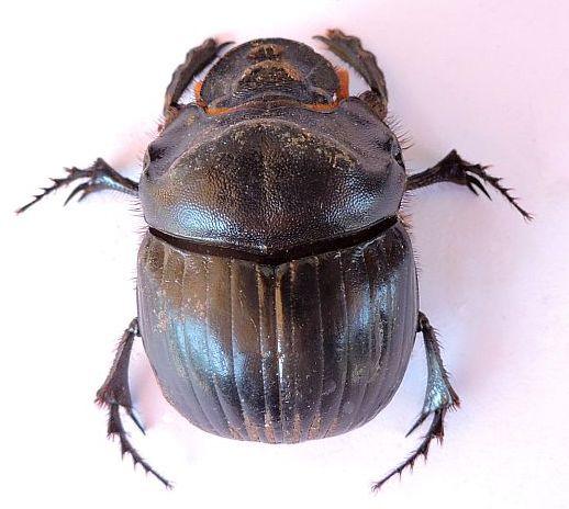 Arizona Beetle - Dichotomius colonicus