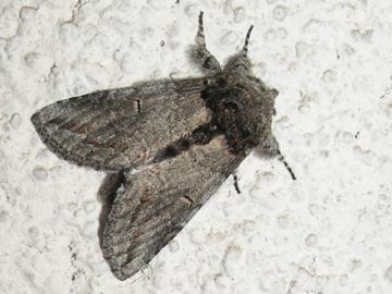 Moth # 08-63 - Heterocampa averna