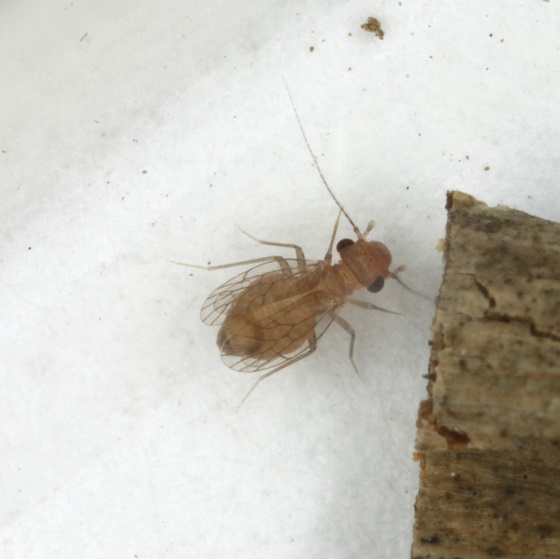 Psyllipsocus apache Mockford - Psyllipsocus apache - female