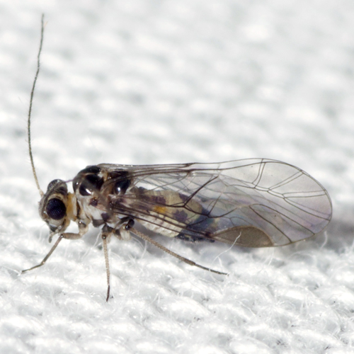 Common Barklouse - Blastopsocus variabilis - male
