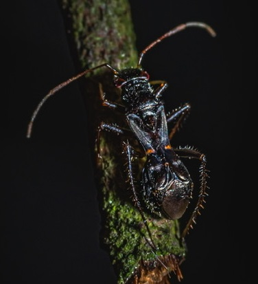 Ant mimic bug? - Barberiella formicoides