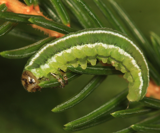 European spruce sawfly - Gilpinia hercyniae