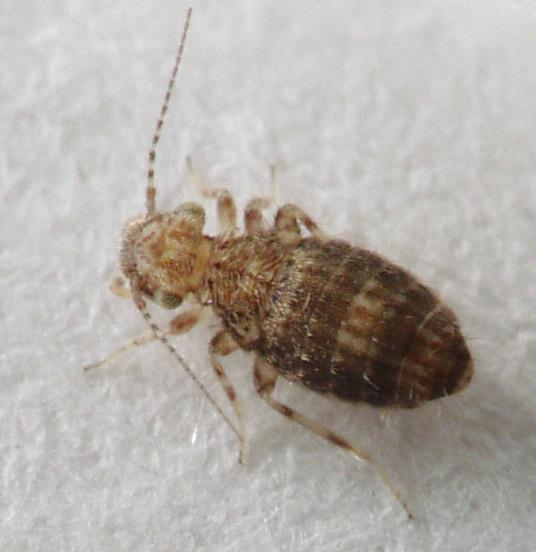 Psocid - Cerobasis annulata
