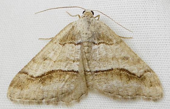Moth - Digrammia modocata