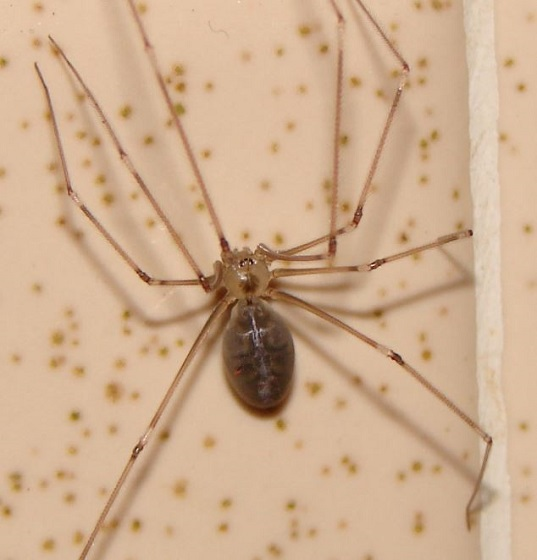 Cellar Spider - Pholcus phalangioides