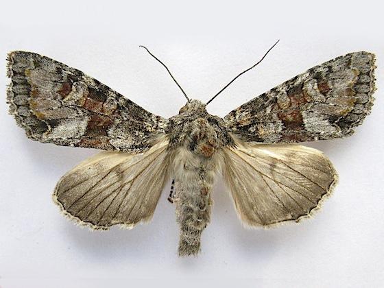 Western Apamea Moth - Apamea occidens