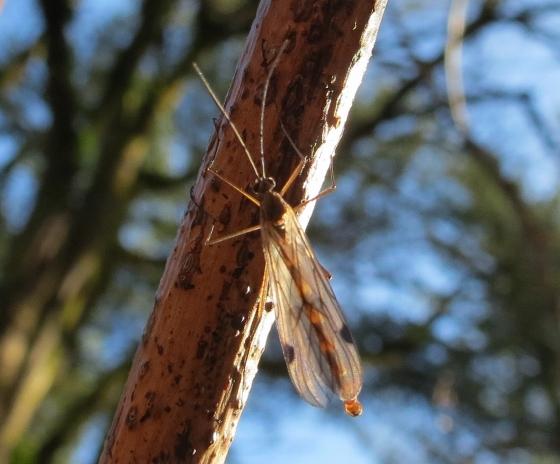 Insect - Cramptonomyia spenceri