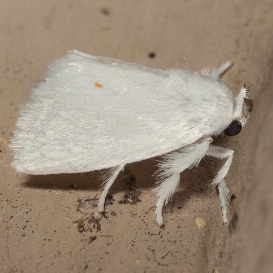 Packard's White Flannel Moth - Alarodia slossoniae
