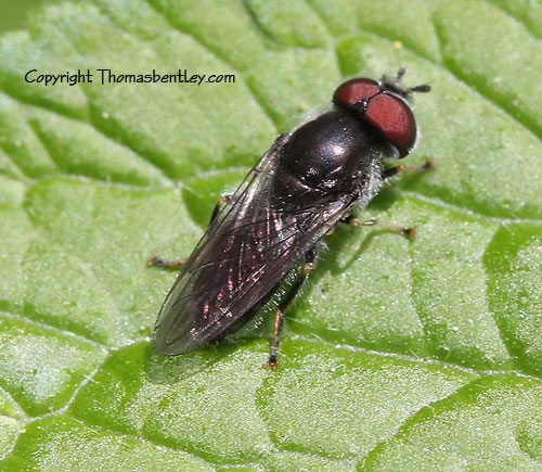 Syrphid? - Pipiza - male