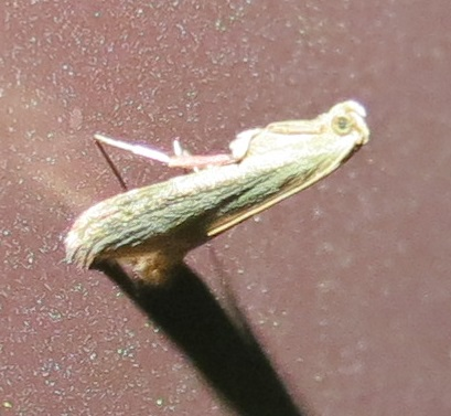 Moth - Arta olivalis