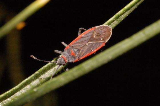 Unknown - Melacoryphus lateralis