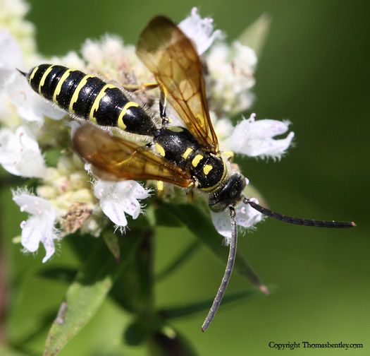 Wasp - Myzinum - male
