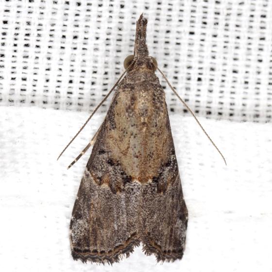 Hop Vine Moth - Hodges #8461 - Hypena minualis