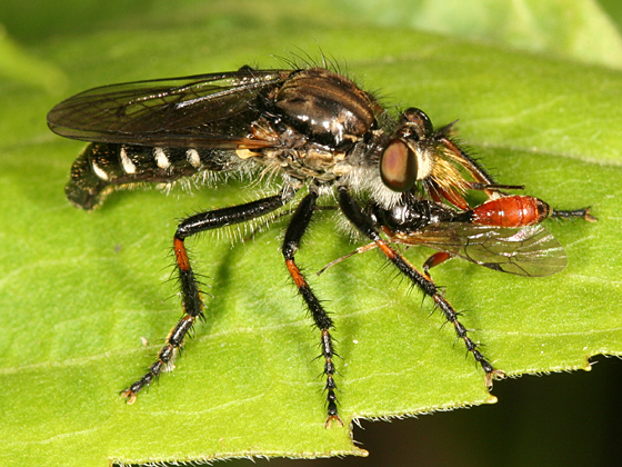 small robber fly - Cyrtopogon falto - female