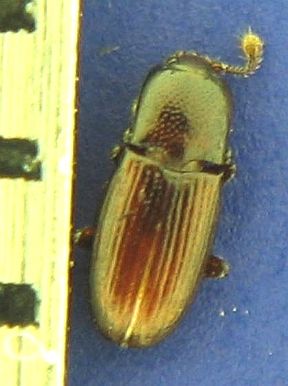 2-mm brown oblong beetle, Cerylonidae? - Cerylon unicolor