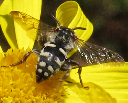 Is this a Cuckoo Bee? If so, which species? - Xeromelecta californica
