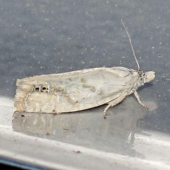 Phaneta artemisiana - Hodges #2984 - Eucosma artemisiana