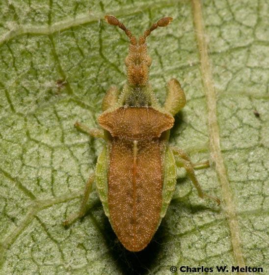 Ambush Bug? - Lophoscutus