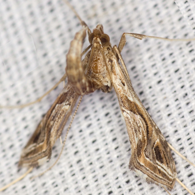 Eggplant Leafroller Moth - Hodges #5107 - Lineodes integra
