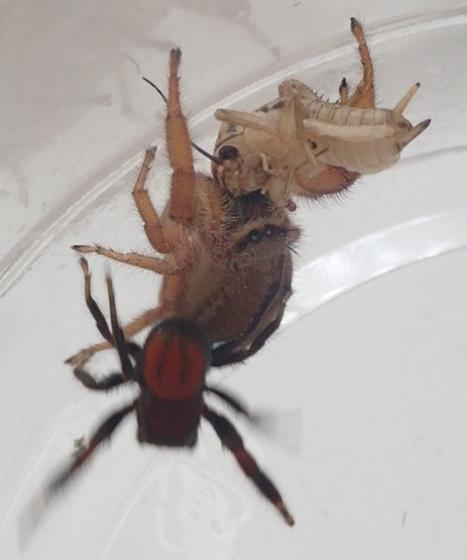Phidippus pius - male - female