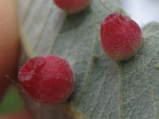 Leaf gall on Arroyo Willow (Salix lasiolepis) - Iteomyia