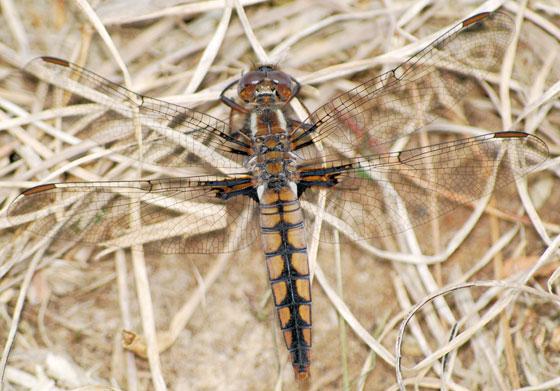 Dragonfly - Blue Corporal - female 5 - 2010 - Ladona deplanata - female