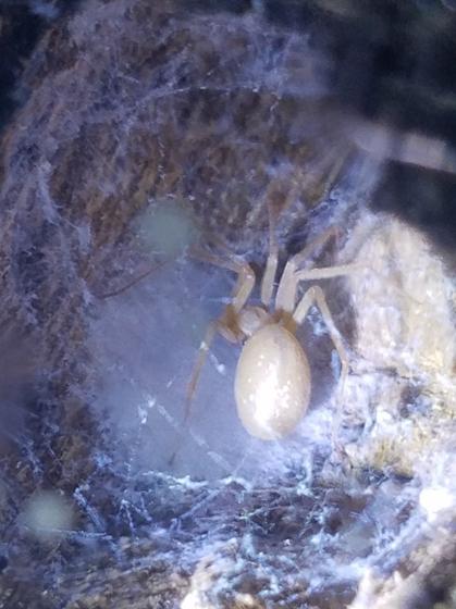 Loxosceles blanda - female