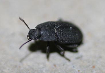 Alaetrinus minimus?