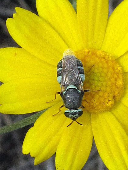 Soldier Fly? - Psellidotus