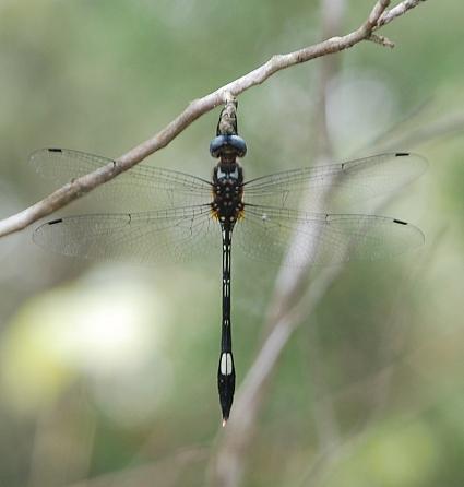Dragonfly - Brechmorhoga mendax