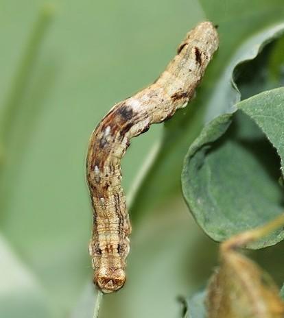 Unknown Moth Larva - Ectropis crepuscularia