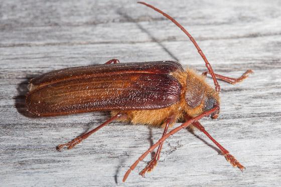 prionis beetle - Tragosoma harrisii - male