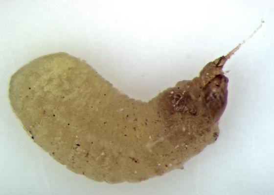 perhaps Dryinidae larvaX