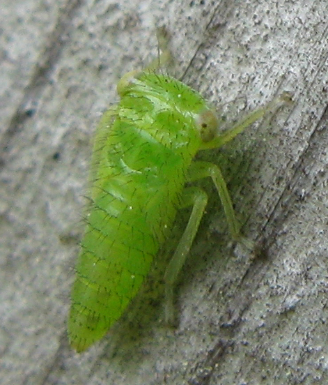 Leafhopper nymph - Idiocerus