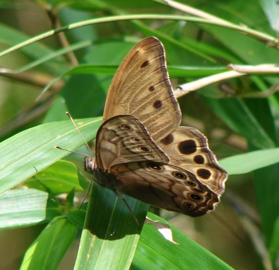 Pearly Eye Butterfly - Lethe creola