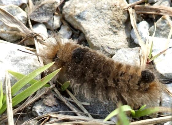 Streaked tussock moth larva - Dasychira obliquata