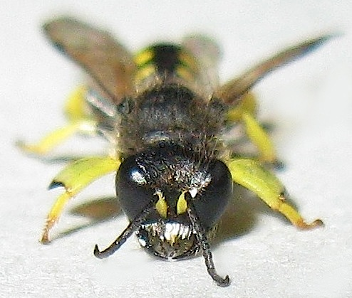 Shield-handed Squarehead Wasp - Crabro - male