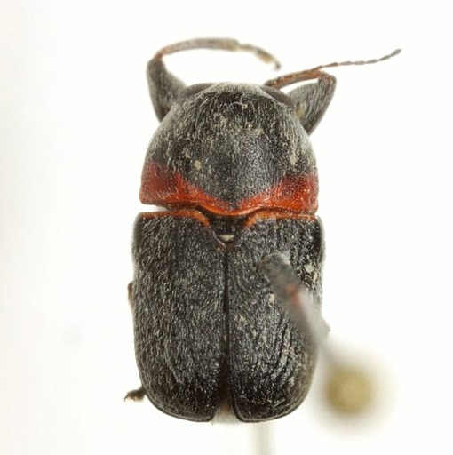 Pachybrachis thoracicus Jacoby - Pachybrachis thoracicus