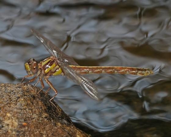 Ophiogomphus edmundo - female