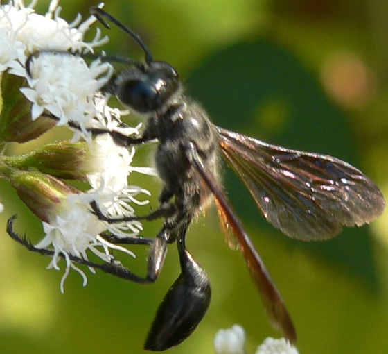 Grass-carrying Wasp - Isodontia - female