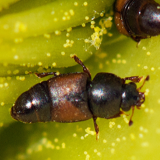 Brown beetle on Prickly-Pear - Nitops pallipennis