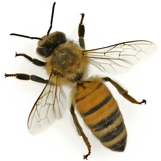 Black Bumble Bee >> Honey bee - Apis mellifera - BugGuide.Net