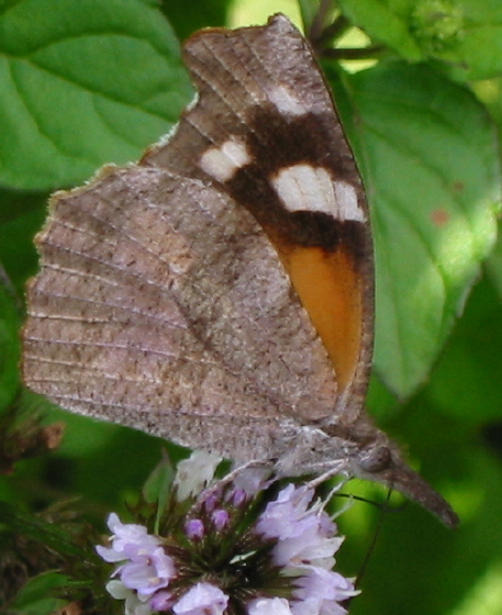 American Snout - Libytheana carinenta