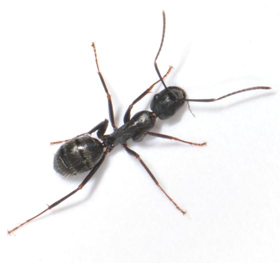 Camponotus pennsylvanicus ? - Camponotus pennsylvanicus