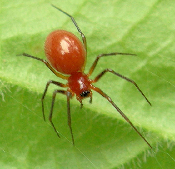 Tiny Red Spider 1 Bugguide Net